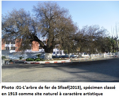 Larbre de fer de Sfisef(2013), spcimen class en 1913 comme site naturel  caractre artistique