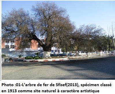 L'arbre de fer de Sfisef(2013), spécimen classé en 1913 comme site naturel à caractère artistique