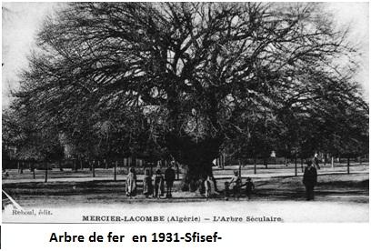 L'arbre de fer  en 1931-Sfisef-