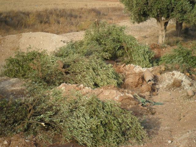 SAM_0642 oliviers 1